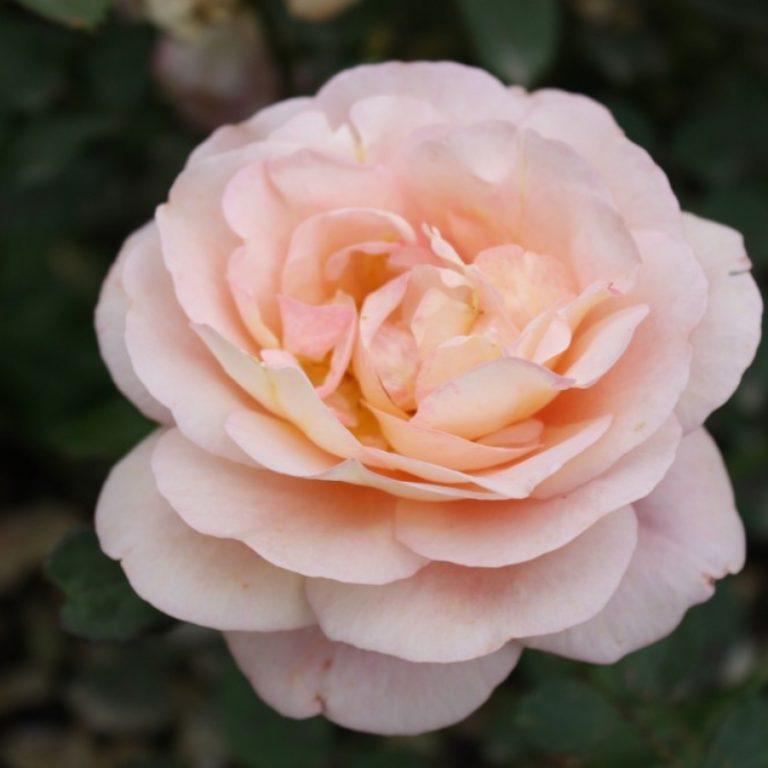 Саженцы роз Леандра (Leander)