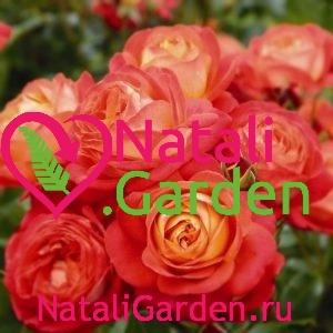 Саженцы роз Мидсаммер (Midsummer)