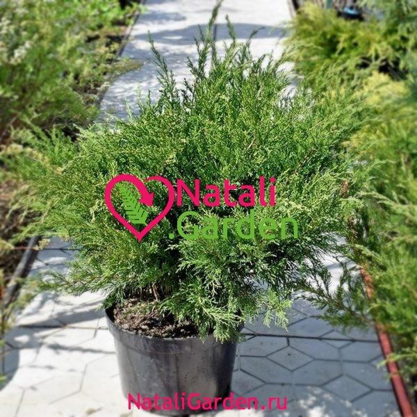 Можжевельник Минт Джулеп (Juniperus chinensis Mint Julep)