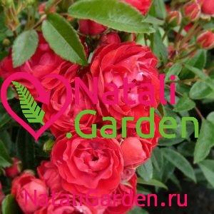 Саженцы роз флорибунда Морсдаг Ред (Morsdag Red)