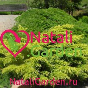 Можжевельник Голд Киссен (Juniperus media Gold Kissen)