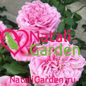 Саженцы роз Огюст Ренуар (Auguste Renoir)