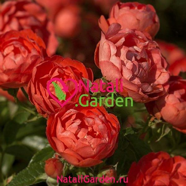 Саженцы роз флорибунда Оранж Морсдаг (Orange Morsdag)