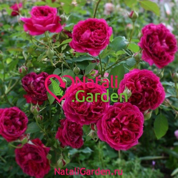 Саженцы роз Отелло (Othello)