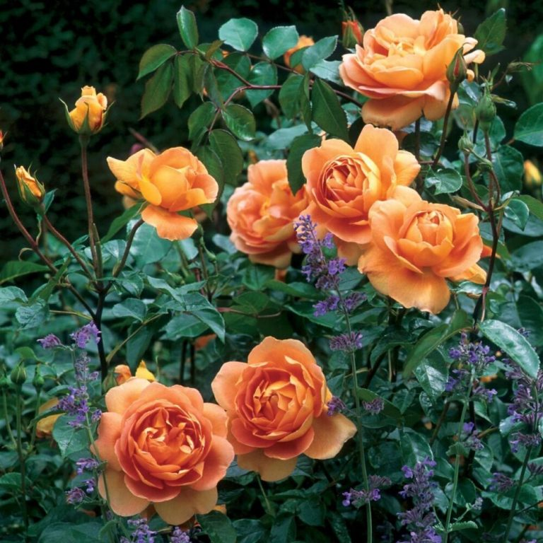 Саженцы роз Пэт Остин(Pat Austin)