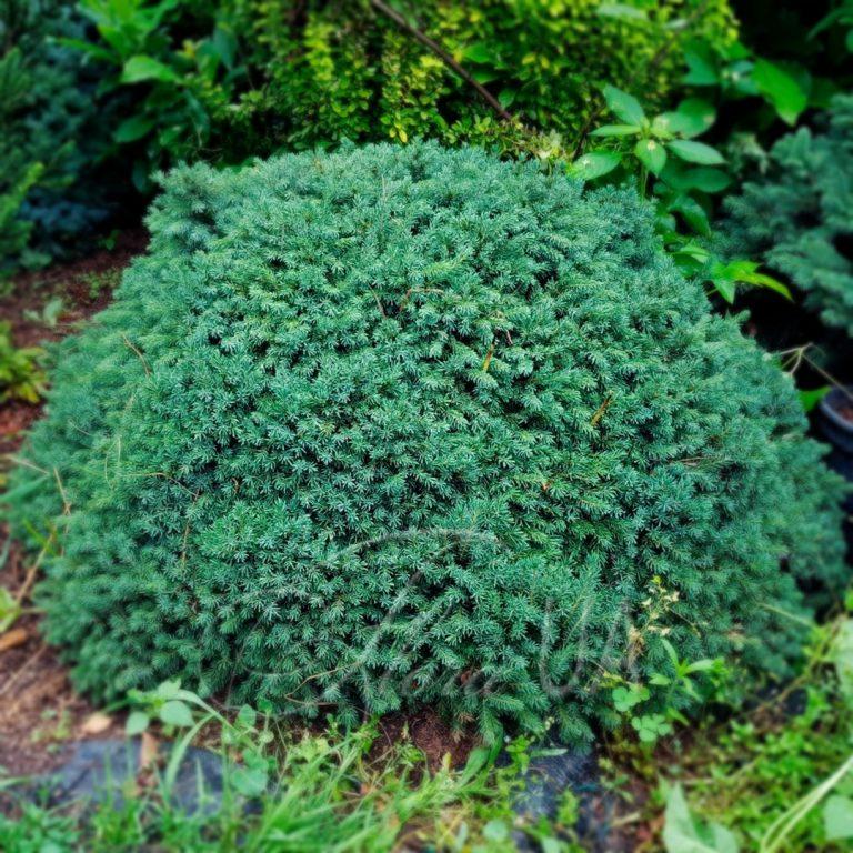 Ель карликовая канадская Эхиниформис (Picea glauca Echiniformis)