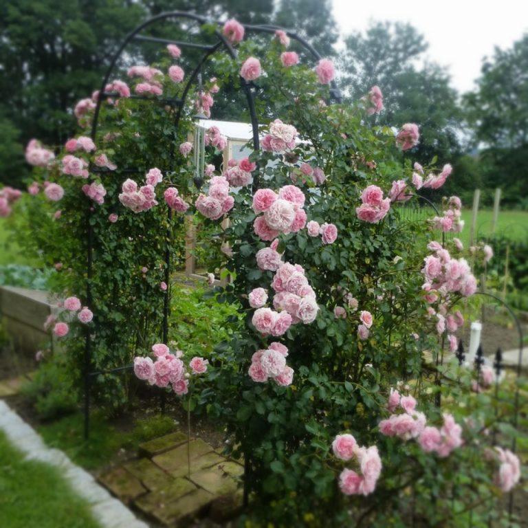 Саженцы плетистых роз Пируэт (Pirouette)