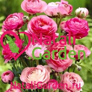Саженцы роз Ранункулюс (Ranunculus, лютик)