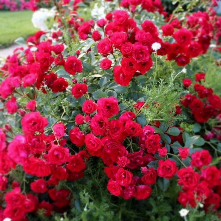 Саженцы роз Ред Вельвет (Red Velvet)