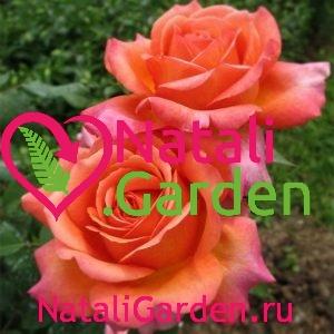 Саженцы роз Рене Госинни (Rene Goscinny)