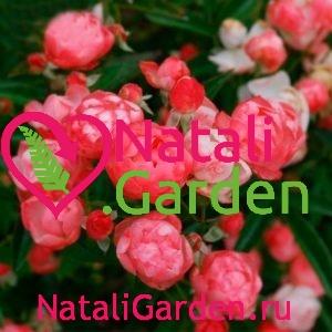Саженцы роз спрей Марго Костер (Margo Koster)