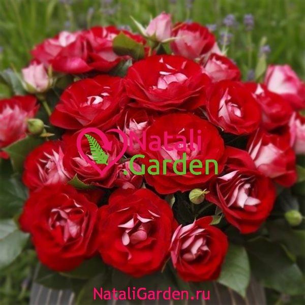 Саженцы роз Rose der Einheit