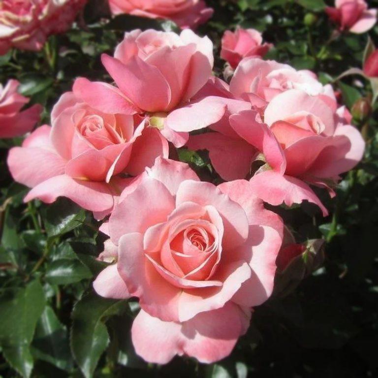 Саженцы роз Боттичелли (Botticelli)