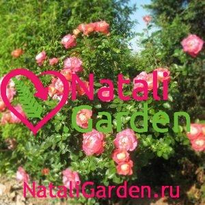 Саженцы роз Декор Арлекин (Decor Arlequin, Павлиний Глаз)