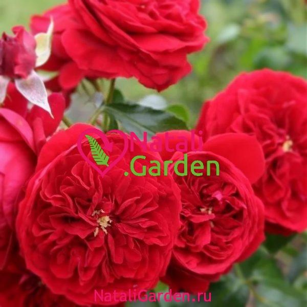 Саженцы роз флорибунда Красная Шапочка (Rotkapchen)