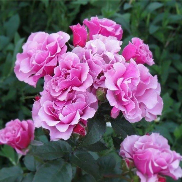 Саженцы роз флорибунда Санта Барбара (Santa Barbara)