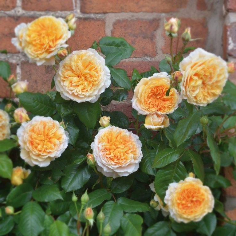 Саженцы роз Краун Принцесса Маргарет (Crown Princess Margareta)