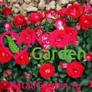 Саженцы роз Мейди (Maidy)