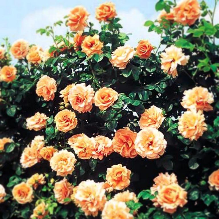 Саженцы плетистых роз Полька