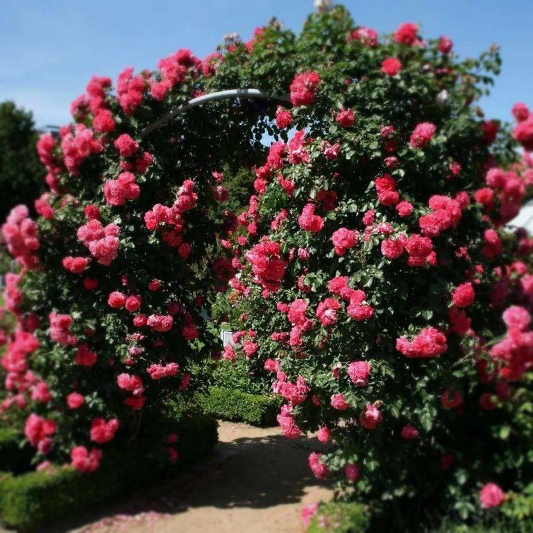 Саженцы плетистых роз Розариум Ютерсен (Rosarium Uetersen)