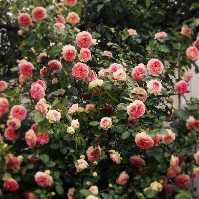 Саженцы плетистых роз Цезарь (Cesar)