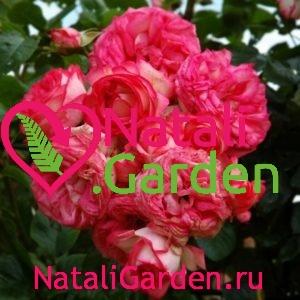 Саженцы плетистых роз Антик (Antike)