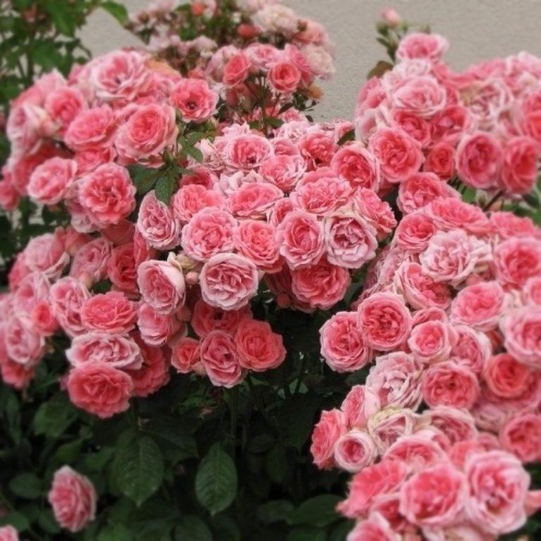 Саженцы роз Линда (Linda)