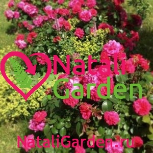 Саженцы роз флорибунда Сангрия (Sangria)