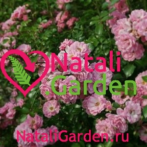 Саженцы роз Сатина (Satina)