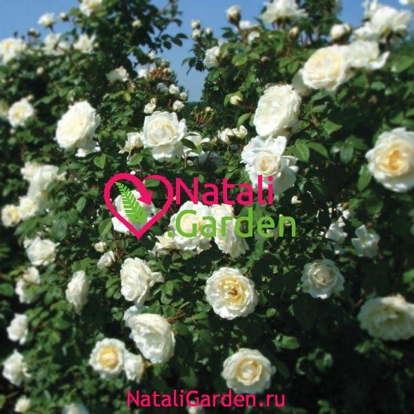 Саженцы роз Транквилити (Tranquillity)