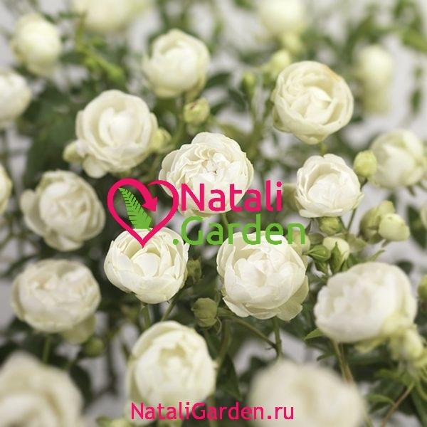 Саженцы роз Морздаг Уайт (Morsdag White)
