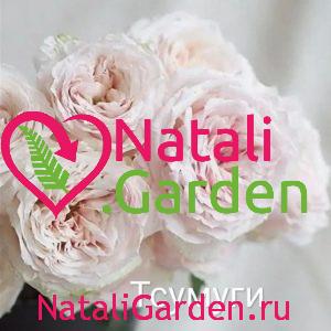 Саженцы роз Тсумуги (Tsumugi)