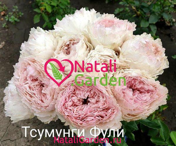 Саженцы роз Тсумунги Фули (Tsumugi Fuli)